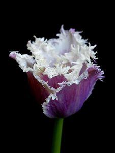 Free Tulip Stock Images - 30338544