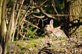 Free Rabbit In The Woods Stock Photography - 30341472