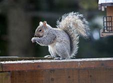 Free Beautiful Squirrel Royalty Free Stock Images - 30340229