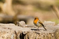 Free Robin In The Sun Royalty Free Stock Photography - 30341487
