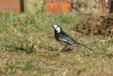 Pied Wagtail. Stock Photography