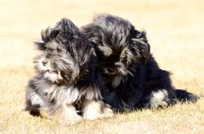 Free Two Siblings Dogs Stock Images - 30343254