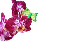 Free Orchid Isolated On White Background Royalty Free Stock Photo - 30343875