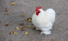 Free Small White Rooster On A Farm. Royalty Free Stock Photo - 30344425