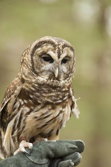Free Barred Owl Poses With His Handler. Stock Images - 30344534