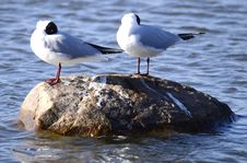 Free Three Larus Minutus On A Rock Stock Images - 30344734