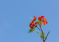 Free Flame Tree Blossom Stock Photo - 30350820