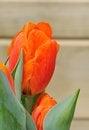 Free Orange Tulip Royalty Free Stock Images - 30361419
