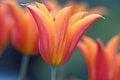 Free Tulip Bud Royalty Free Stock Photography - 30368797