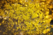 Free Yellow Flowering Bush Royalty Free Stock Photography - 30361087