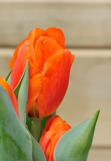 Free Orange Tulip Royalty Free Stock Images - 30361419