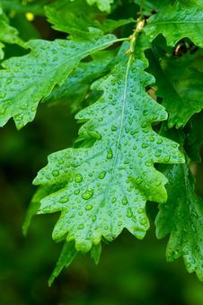 Free Oak Leaf Stock Photography - 30364032