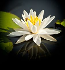 Free Water Lily Royalty Free Stock Image - 30364126