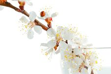 Apricot-tree Flowers Royalty Free Stock Image