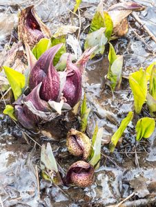 Free Eastern Skunk Cabbage Breaking Through Ice Royalty Free Stock Photo - 30367115