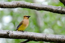 Free Cedar Waxwing Stock Photography - 30367382