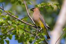 Free Cedar Waxwing Stock Images - 30367544
