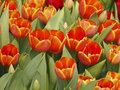 Free Bloom Orange Tulip Stock Image - 30373571