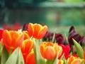 Free Orange Tulip In Garden Stock Photography - 30373602