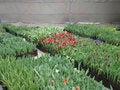 Free Tulip Nursery Royalty Free Stock Photos - 30373618