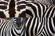 Free Detail Zebras Royalty Free Stock Images - 30370349