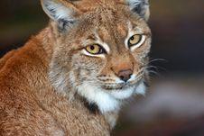 Free Lynx Stock Photo - 30370420