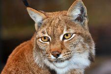 Free Lynx Royalty Free Stock Photo - 30370475