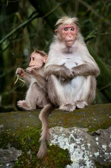 Free Monkey Family Royalty Free Stock Image - 30370486
