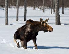 Free Moose Stock Image - 30373061