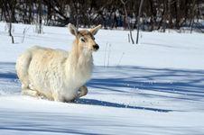Free White Elk Stock Photo - 30373180