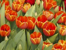 Free Bloom Orange Tulip Stock Image - 30373571