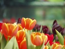 Free Orange Tulip In Garden Stock Photography - 30373602