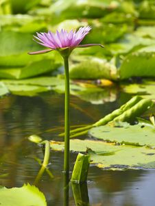 Free Pink Lotus Stock Photography - 30373832