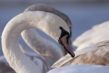 Free Swan Portrait Stock Photography - 30375262