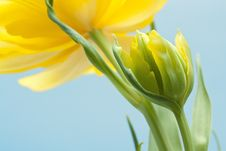 Free Two Yellow Tulips Stock Image - 30375601
