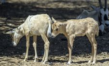 Free Babies Of Antelope, Eilat, Israel Royalty Free Stock Photos - 30376178