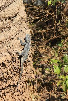 Free Lizard Stock Image - 30384041