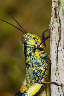 Free Big Grasshopper Stock Image - 30387161