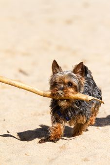 Free Yorkshire Terrier Stock Photo - 30389960