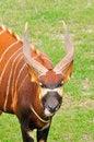 Free Bongo Headshot Royalty Free Stock Photo - 30397355