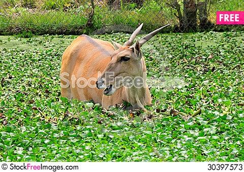 Free Elan Antelope Stock Photos - 30397573