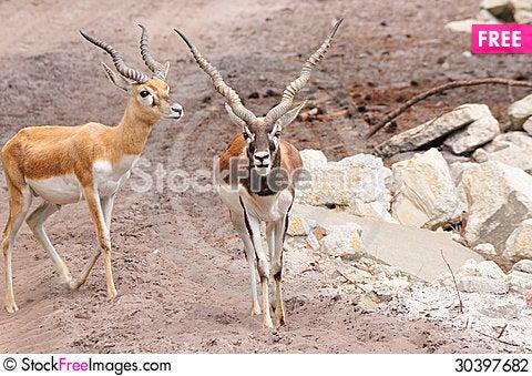 Free Gazelle Stock Photography - 30397682
