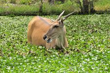 Free Elan Antelope Stock Photos - 30397573