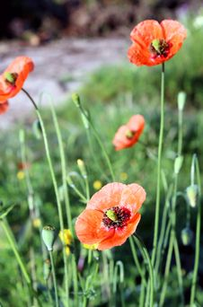 Free Papaver Rhoeas, A Species Of Flowering Plant In The Poppy Family Stock Image - 30398791