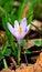 Free Flower Of Crocus Stock Image - 30395751