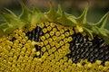 Free Sunflower Stock Photos - 3044273