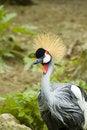 Free Crowned Crane Bird Stock Photo - 3047200