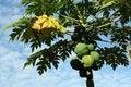 Free Papaya Royalty Free Stock Images - 3047619