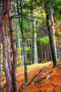 Free Tall Trees In Forest Royalty Free Stock Photos - 3048528