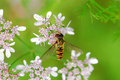 Free Bee Royalty Free Stock Photography - 3049517